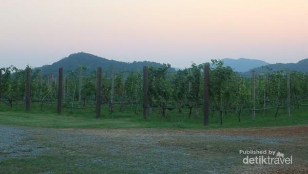 Perkebunan anggur ini memiliki luas sekitar 480 hektar
