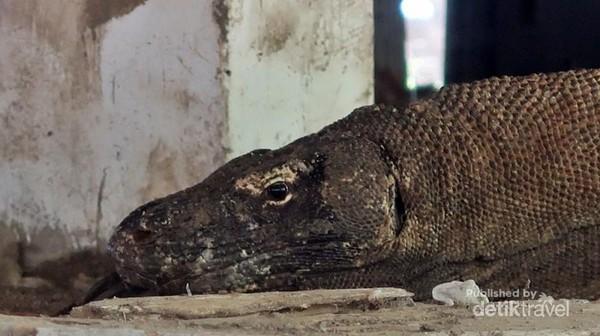 Komodo tampak lelah di kolong bangunan.