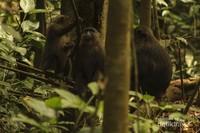 3 ekor kera hitam (Macaca Maura) sedang asik berkumpul dengan kelompoknya diranting-ranting pohon.