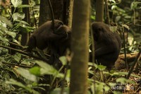 Dalam satu kelompok kera hitam (macaca maura), biasanya dipimpin oleh seekor alpha yang bertugas melindungi kelompoknya.