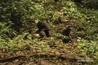 Selain bermain diranting-ranting pohon, kera hitam (macaca maura) juga biasanya menghabiskan waktu untuk mencari makan atau sekedar bermain di daratan.