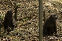 Seekor kera hitam (macaca maura) betina sedang duduk bersama dengan seekor kera hitam muda.