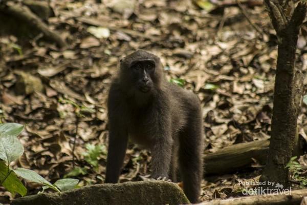 Seekor kera hitam (macaca maura) muda sedang memperhatikan sekitarnya.
