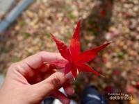 Momiji atau dedaunan musim gugur yang indah dengan warna kemerahannya.