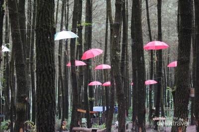 Wisata Hutan Pinus Semeru di Malang yang Kekinian