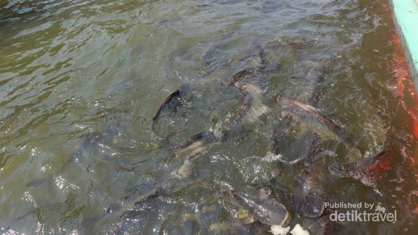 Ikan patin tidak ragu untuk mendekat