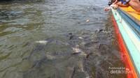 Ikan patin yang berkumpul di dekat perahu kami