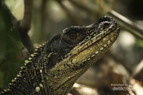 Inilah penampakan kepala dari dekat seekor Soa-soa Layar (Hydrosaurus amboinensis) di wilayah Taman Nasional Bantimurung Bulusaraung, Kabupaten Maros, Sulawesi Selatan..