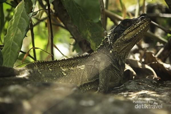 Soa-soa melalui Peraturan Pemerintah Nomor 7 tahun 1999, menjadikan kadal ini dalam status dilindungi. Ia terancam perburuan dan perubahan habitat lingkungan.