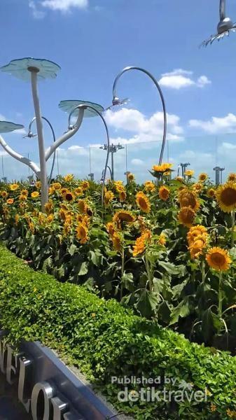 Ada penyiraman otomatis bagi bunga matahari