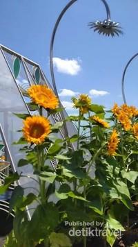 Bunga matahari yang berinteraksi langsung dengan matahari