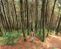 Di sepanjang jalur pendakian kita akan melewati hutan pinus yang cukup asri dan cocok untuk berswafoto
