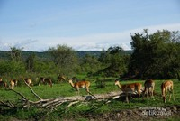Berbagai hewan di Akagera National Park