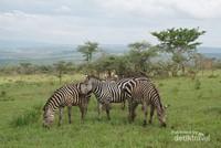 Zebra di Akagera National Park