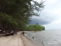 Deretan pohon Pinus dan Cemara di tepi pantai Lamaru