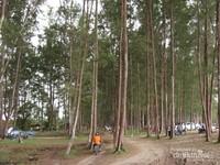 Deretan Pohon Pinus yang tinggi menjulang memenuhi parkiran dan pondok tepat bersantai di tepi pantai Lamaru