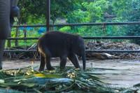 Anak gajah
