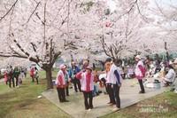 Hanami, Tradisi Menikmati dan Mengapresiasi Bunga Sakura Mekar