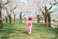 Mekimati indahnya sakura dengan menggunakan kimono.