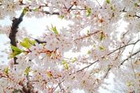 Sakura juga ada yang berwarna putih.
