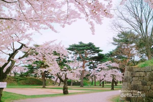 Jalan-jalan dirimbuni oleh pohon-pohon sakura.