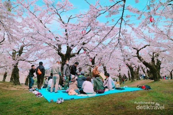 Menyaksikan warga lokal Jepang melakukan piknik di bawah bunga sakura.