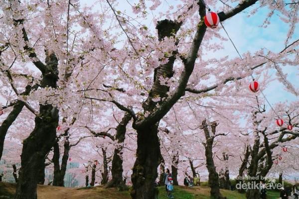 Lampion-lampion juga menambah semarak dan indah bunga sakura, khususnya saat malam hari.
