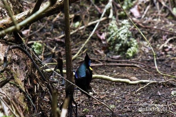 Cenderawasih botak atau Wilson Birds Of Paradise (Cicinnurus respublica) yang banyak mendiami hutan-hutan dataran rendah di Waigeo