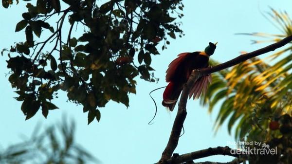 Cenderawasih merah jantan (Paradisaea rubra) menari dan memekik di atas pohon untuk menggoda betina pasangannya sebelum melakukan ritual perkawinan