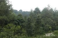 Ranggon Bukit Pinus