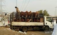 Pedagang membawa hewan yang akan disembelih.