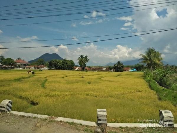 Cantiknya sawah di pinggir jalan dengan padi yang menguning