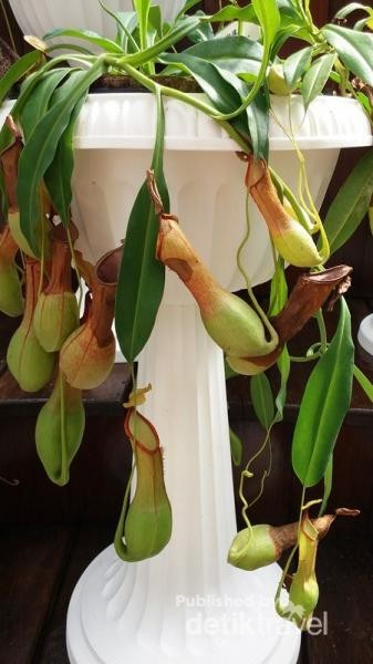 Salah satu jenis tanaman pemakan serangga di Botanical Garden