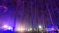 Hutan pinuspun berubah warna saat terkena sinar lampu.