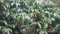 Kita bisa melihat langsung tanaman kopi yang masih di pohon nya