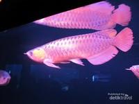 Tidak hanya ikan yang hidup di lautan, ada juga ikan sungai seperti arwana.