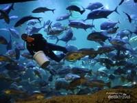 Jika datang di saat yang tepat kita bisa melihat keseruan pemberian makan di aquarium utama