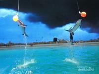 Nikmati keceriaan bersama mamalia laut cerdas lumba-lumba, singa laut dan berang-berang di Oceam Dream Samudera