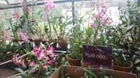 Traveller juga bisa membeli tanaman anggrek dengan harga yang terjangkau