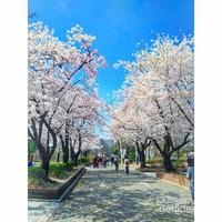 Bunga sakura bermekaran cantik di sepanjang Taman. Walaupun hanya duduk di pinggiran taman seorang diri tapi tetap bahagia karna lihat pemandangan secantik ini.