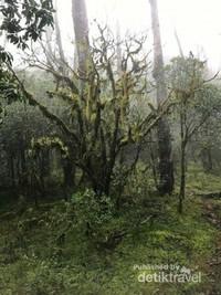 Hutan bonsai dengan lumut yang bergelantungan di antara batang-batang pohon bonsai.