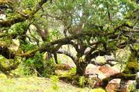 Hutan bonsai di lereng Mutis yang masih alami.