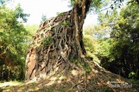 Candi dililit pohon