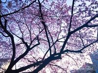 Hasil berburu Sakura yang mekar pertama di Taman Ueno.