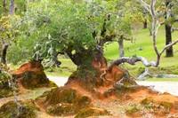 Dari tempat ini kalian bisa mengambil gambar dengan bonsai-bonsai liar yang berumur hingga ratusan tahun. (arr mell)