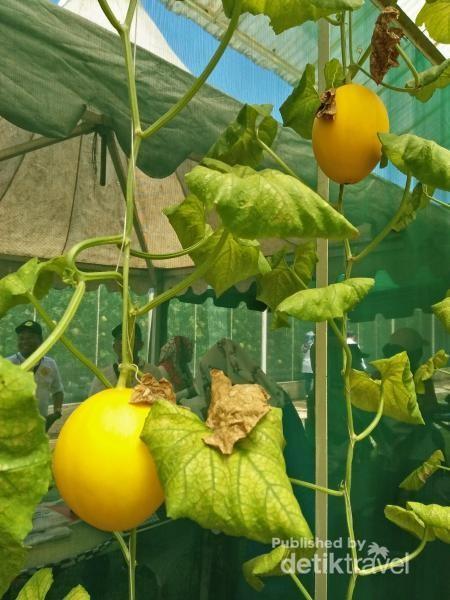 Melon, salah satu buah yang bisa dicicipi dan dibeli pengunjung