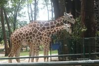 Tidak ketinggalan, mamalia berleher panjang favorit pengunjung, jerapah bisa ditemui di sini