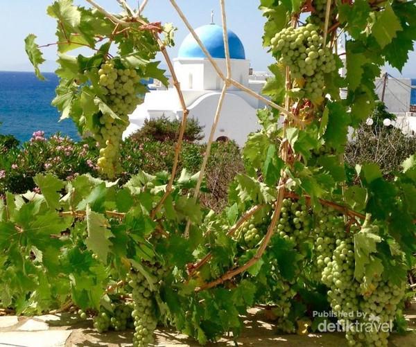 Pohon anggur bisa ditemukan di mana-mana di pulau Paros dan Sifnos