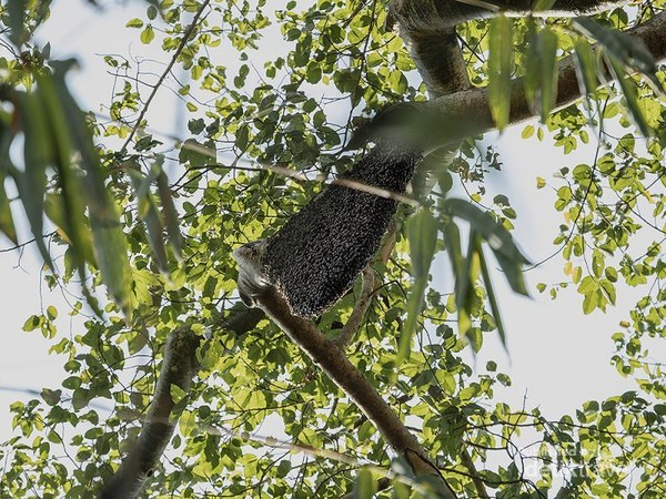 Penampakan sarang lebah hutan yang siap di panen madunya.