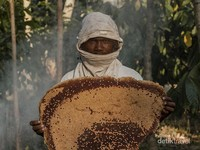 Tyson berpose dengan sarang lebah hutan yang sudah diturunkan dari atas pohon dan siap diambil madunya.